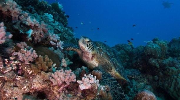 Great Barrier Reef green sea turtle
